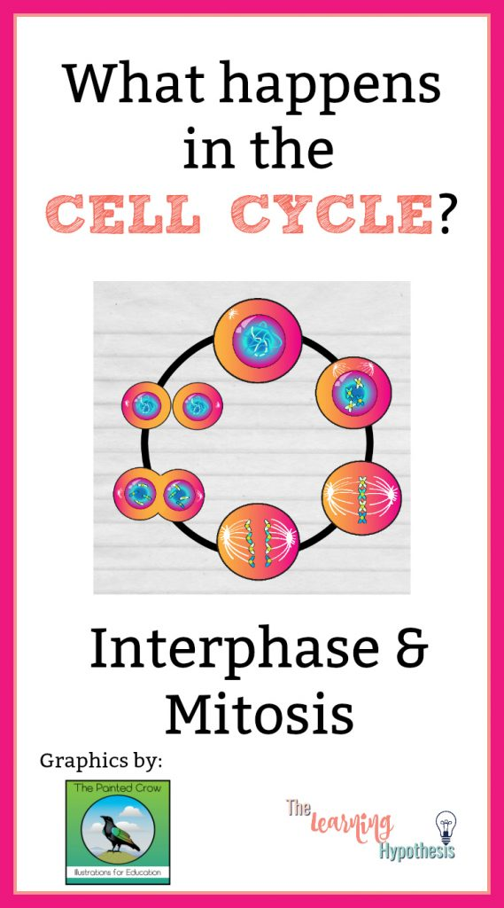What happens in the cell cycle?