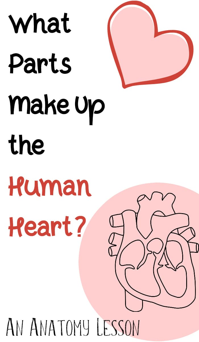 What are the parts that make up a human heart?