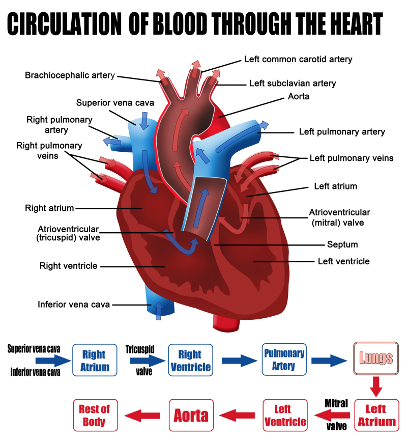 What Are The Parts That Make Up A Human Heart Diagrams And More