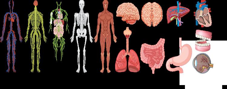 Human Body Graphic